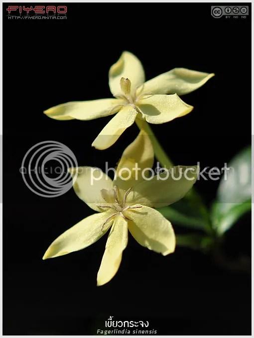 เขี้ยวกระจง, คัดเค้าเล็ก, คัดเค้าหนู, Fagerlindia sinensis, Randia parvula, ไม้ดอกหอม, เขี้ยวจง, ลิเถื่อน, ไม้ไทย, ไม้หายาก, ไม้ดอก, ไม้ประดับ, ดอกสีขาว, ต้นไม้, ดอกไม้, aKitia.Com