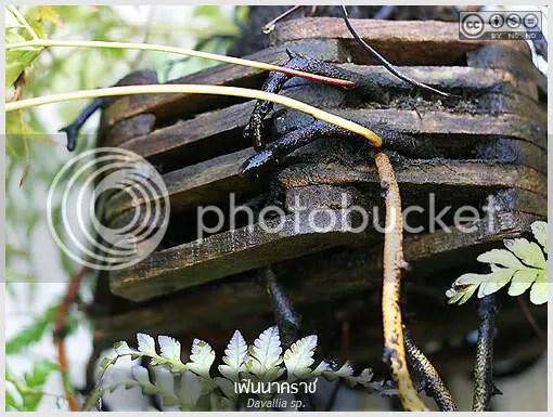 เฟินนาคราช, Davallia, นาคราช, เฟิน, fern, ไม้ใบ, home plant, pot  plant, ไม้กระถาง, ไม้ประดับ, สมุนไพร, ไม้รำไร, พืชอิงอาศัย, ต้นไม้,  ดอกไม้, aKitia.Com