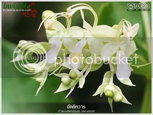 อัคคีทวาร, ต้นอัคคีทวาร, Clerodendrum serratum, สมุนไพรไทย, ไม้ดอก, ไม้ประดับ, ปอสามเกี๋ยน, ตั่งต่อ, สามสุม, หลัวสามเกียน, ตรีชวา, อัคคี, พรายสะเรียง, สะเม่าใหญ่, พายสะเมา, ไม้ไทย, สมุนไพร, นางแย้มป่า, แก้พิษงู, ต้นไม้, ดอกไม้, aKitia.Com