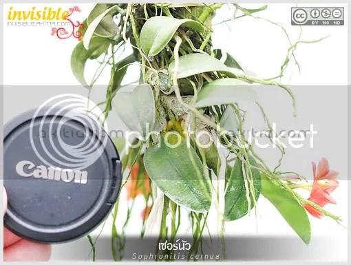 เซอร์นัว, Sophronitis cernua, เซอนัว, โซโฟริทิส, โซฟอริติส, กล้วยไม้, แคทลียาแคระ, ดอกไม้สีส้ม, กล้วยไม้แคระ, กล้วยไม้จิ๋ว, ต้นไม้, ดอกไม้, aKitia.Com