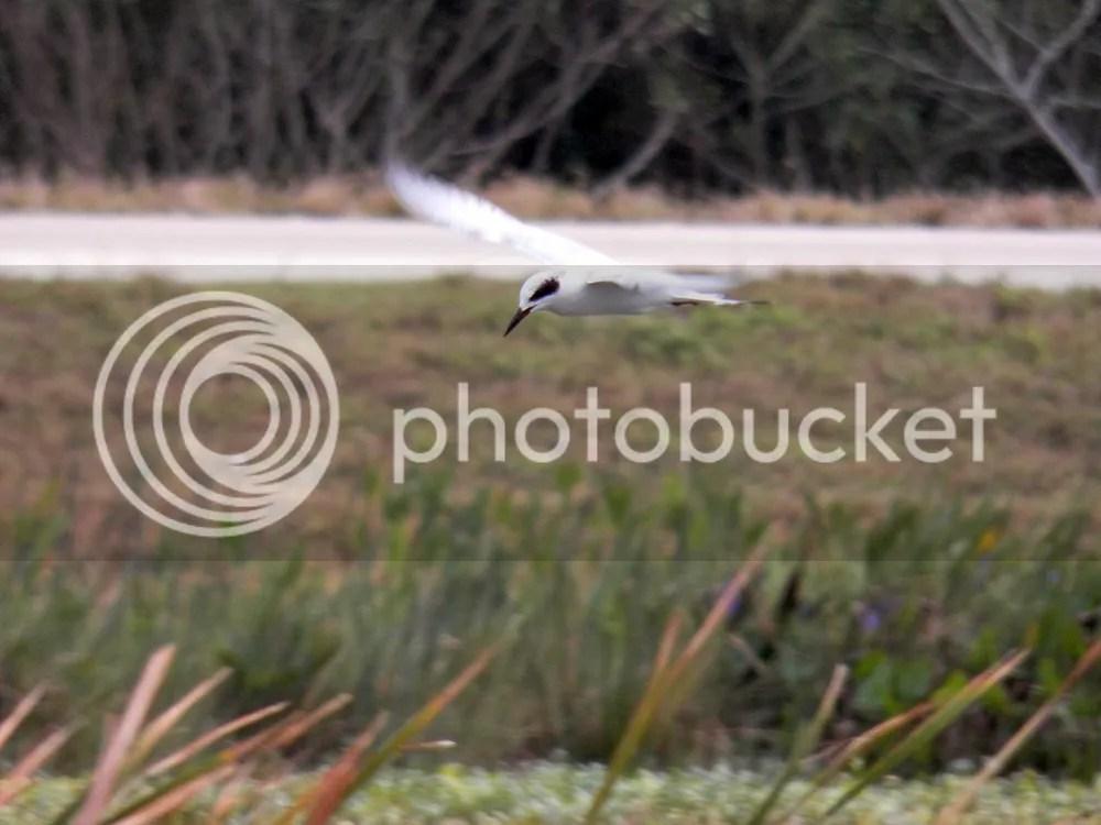 photo forsters-tern.jpg