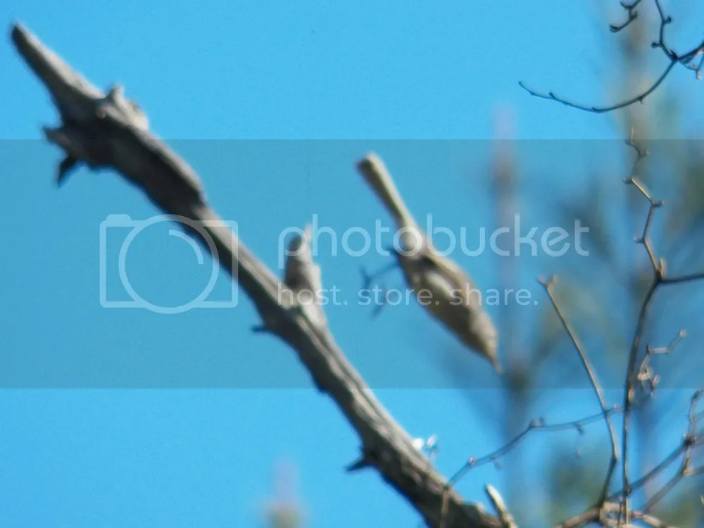 photo blue-gray-gnatcatcher-leap.jpg