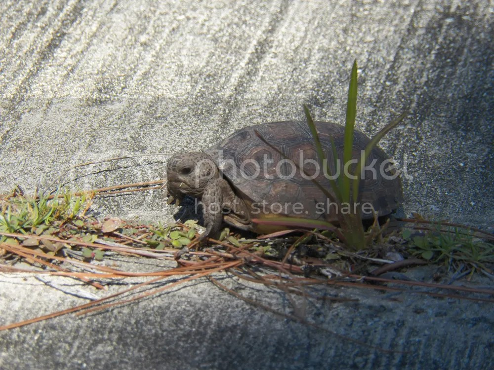 photo young-gopher-tortoise.jpg