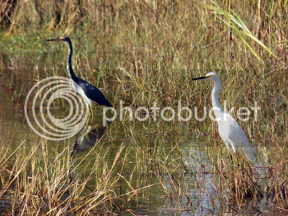 photo 2-herons.jpg