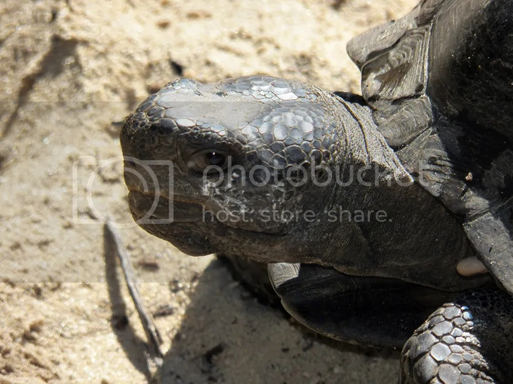 photo gopher-tortoise-close.jpg