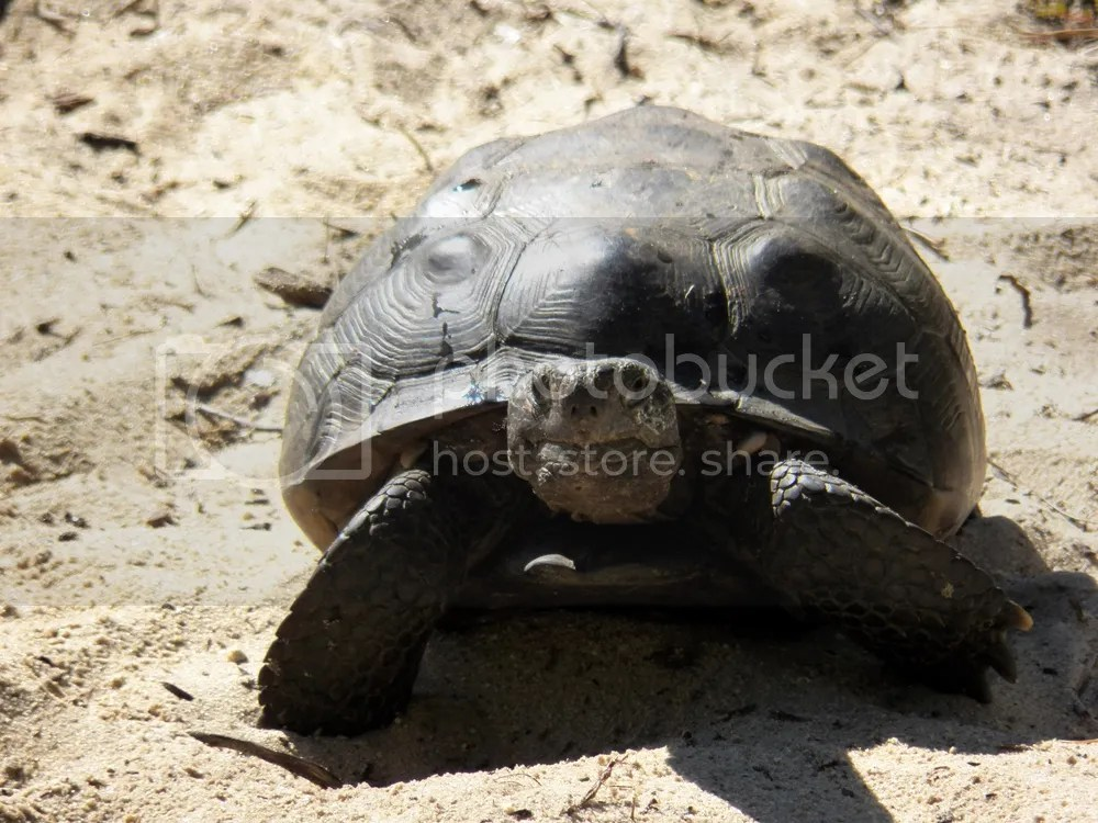 photo gopher-tortoise-front.jpg