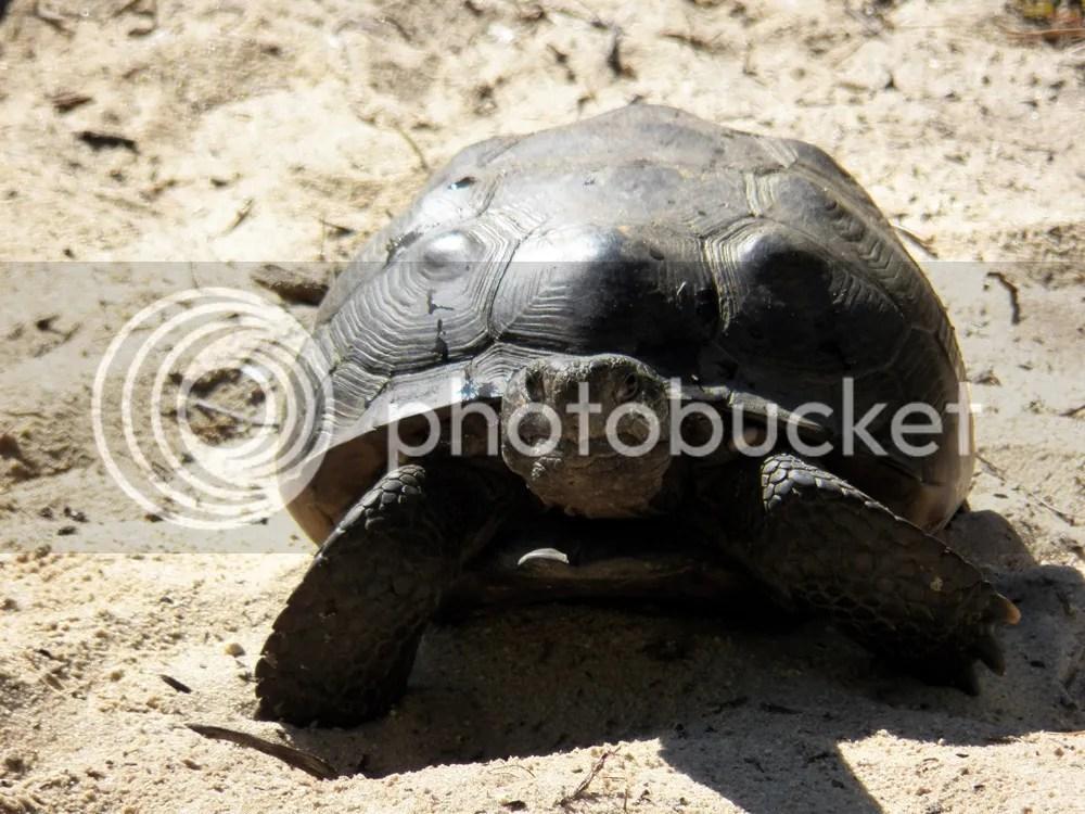 photo gopher-tortoise-front.jpg