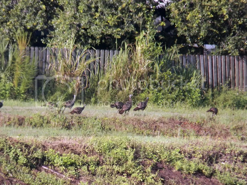 photo wild-turkeys.jpg