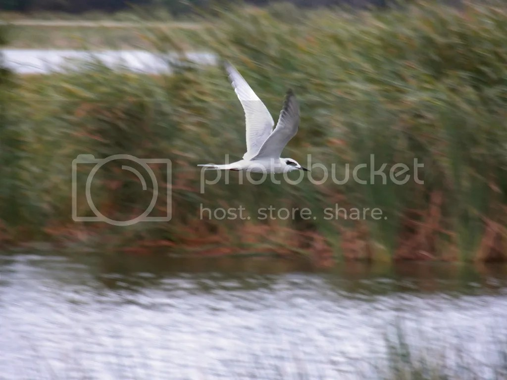 photo forsters-tern-214-dec-07.jpg