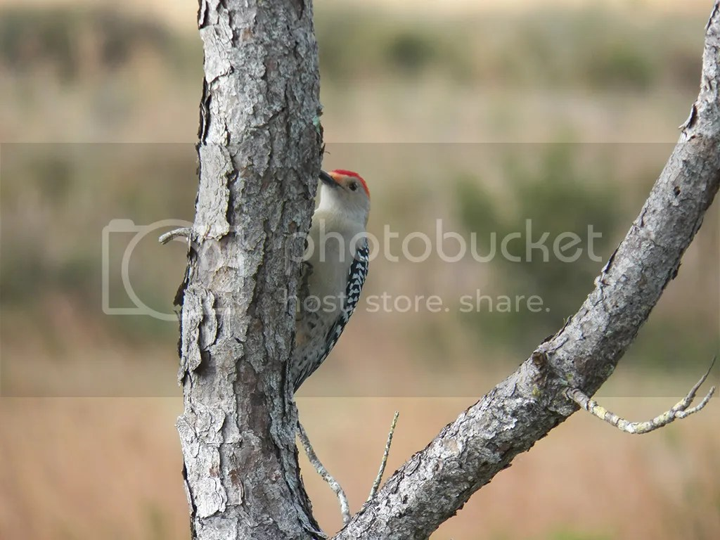 photo red-bellied-woodpecker.jpg