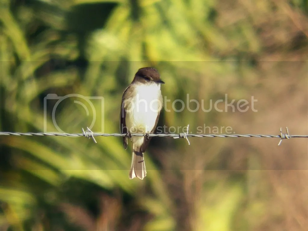 photo eastern-phoebe.jpg