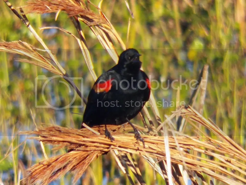 photo red-winged-black-bird-display.jpg