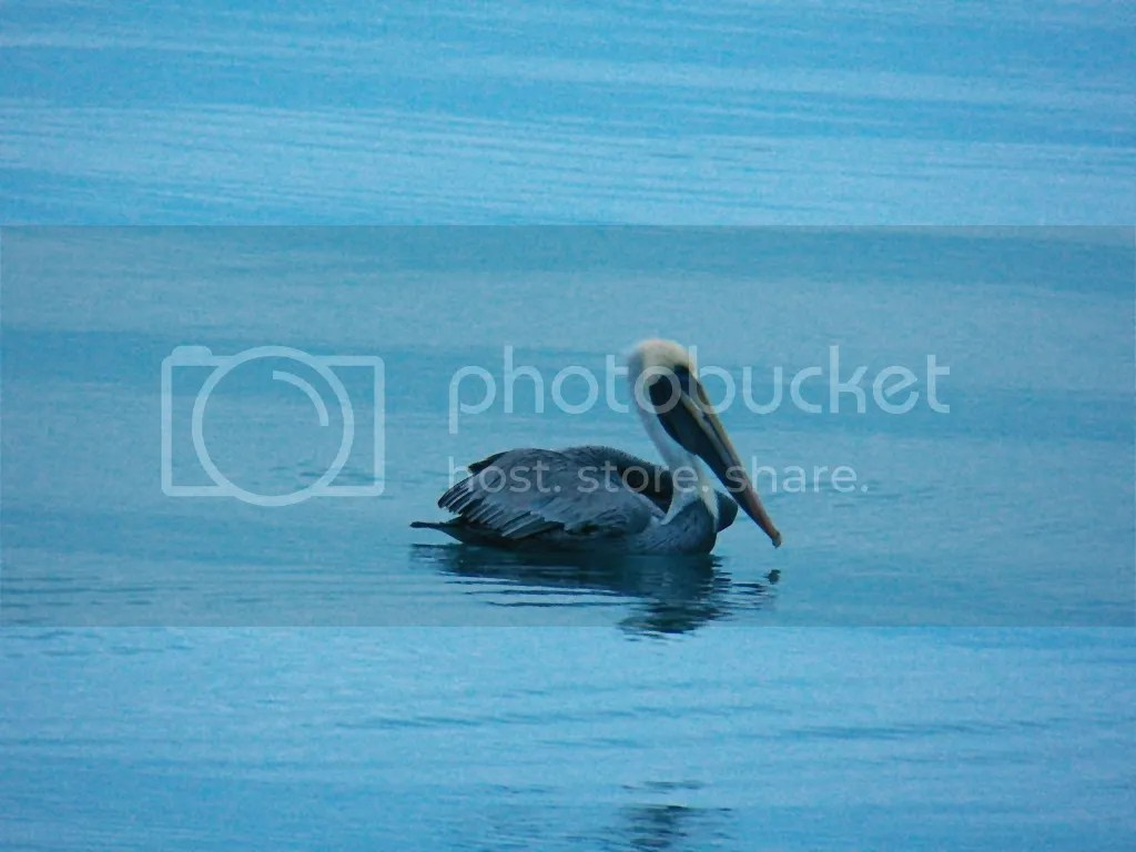 photo brown-pelican.jpg