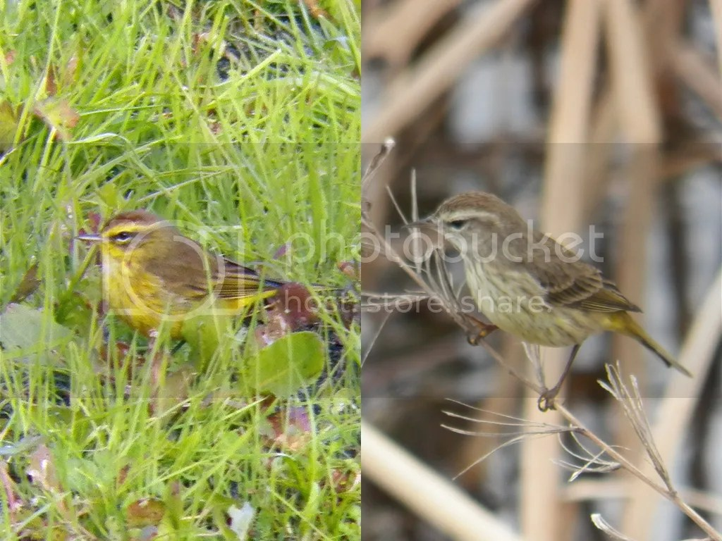 photo eastern-v-western-palm-warbler.jpg