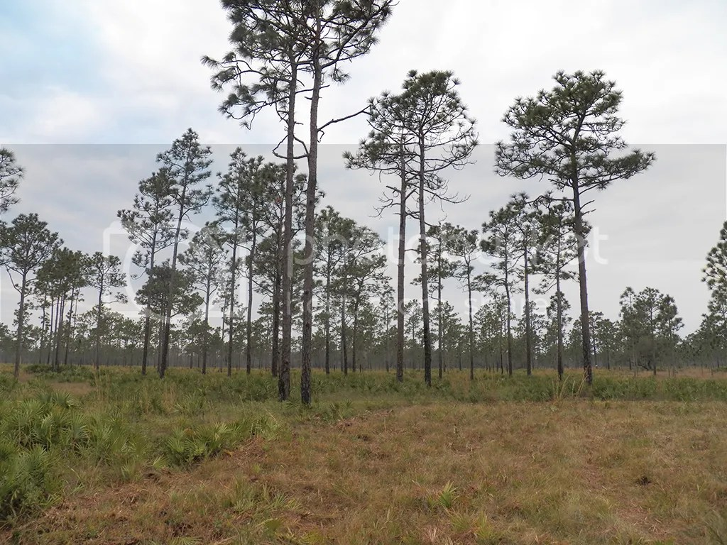 photo pine-flatwoods.jpg