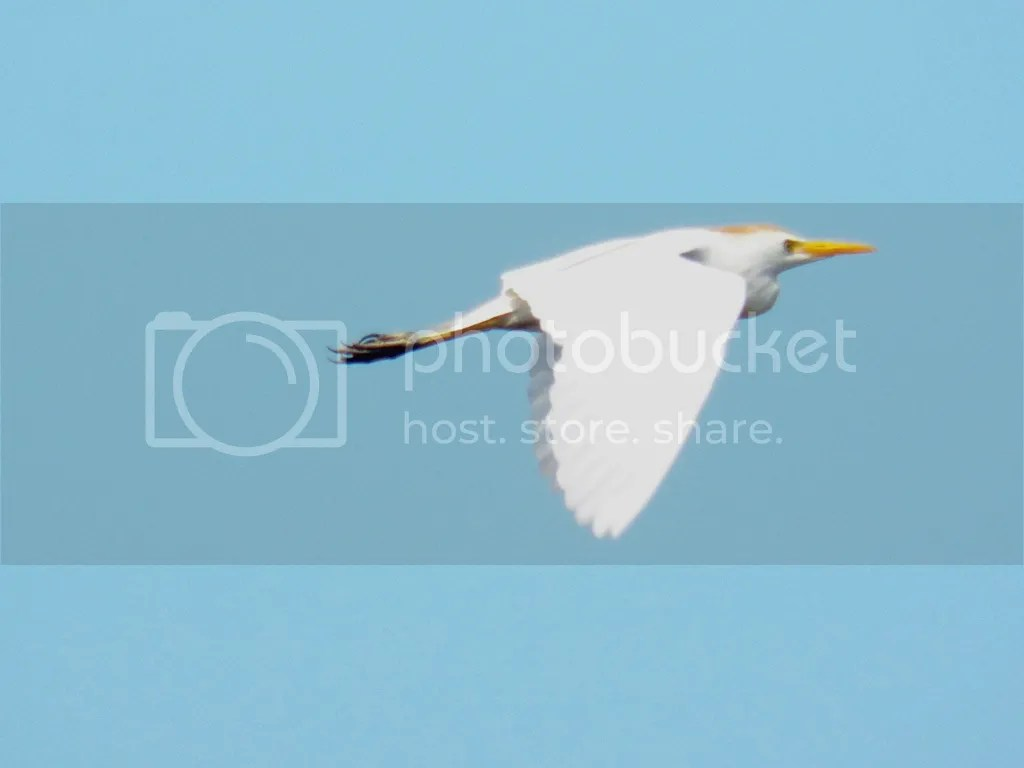 photo cattle-egret.jpg