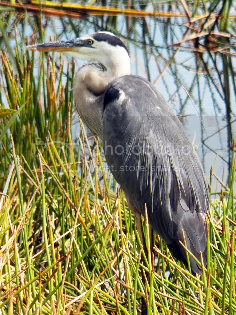 photo great-blue-heron.jpg