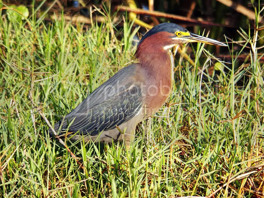 photo green-heron.jpg