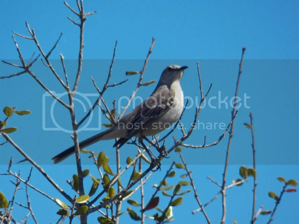 photo n-mockingbird.jpg