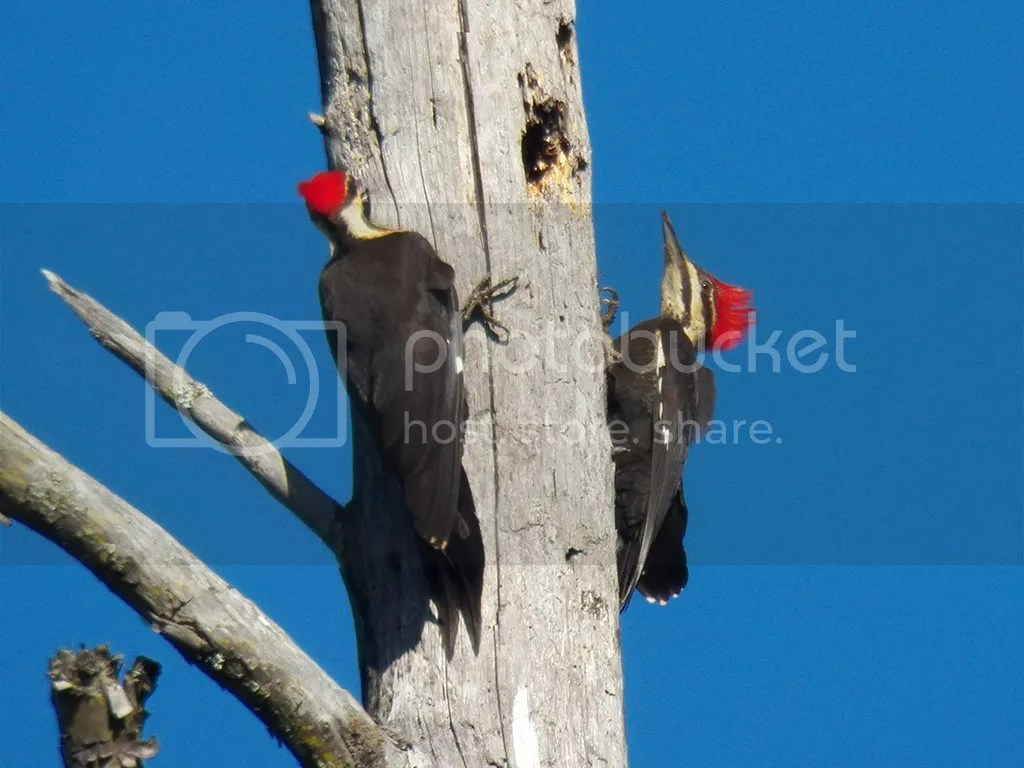photo pileateds.jpg