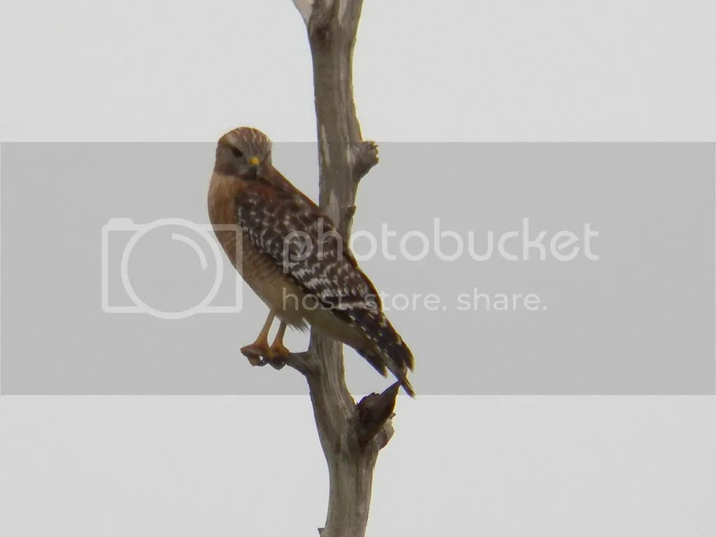 photo red-shouldered-hawk.jpg