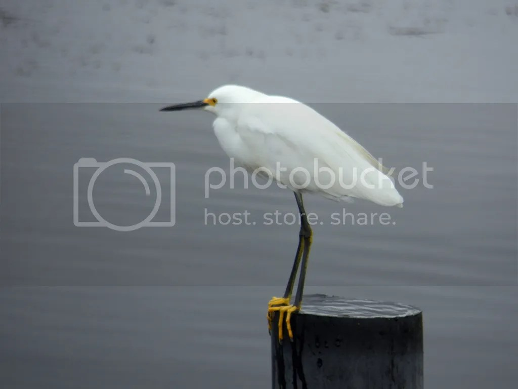 photo snowy-egret.jpg