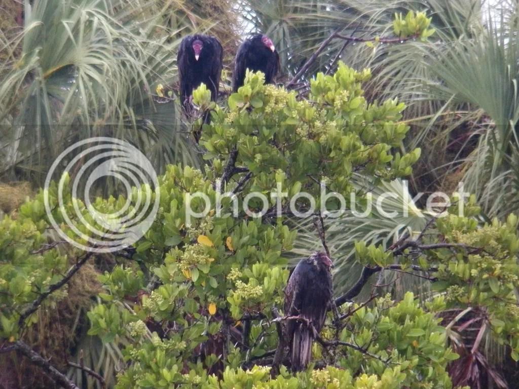 photo sad-vultures.jpg