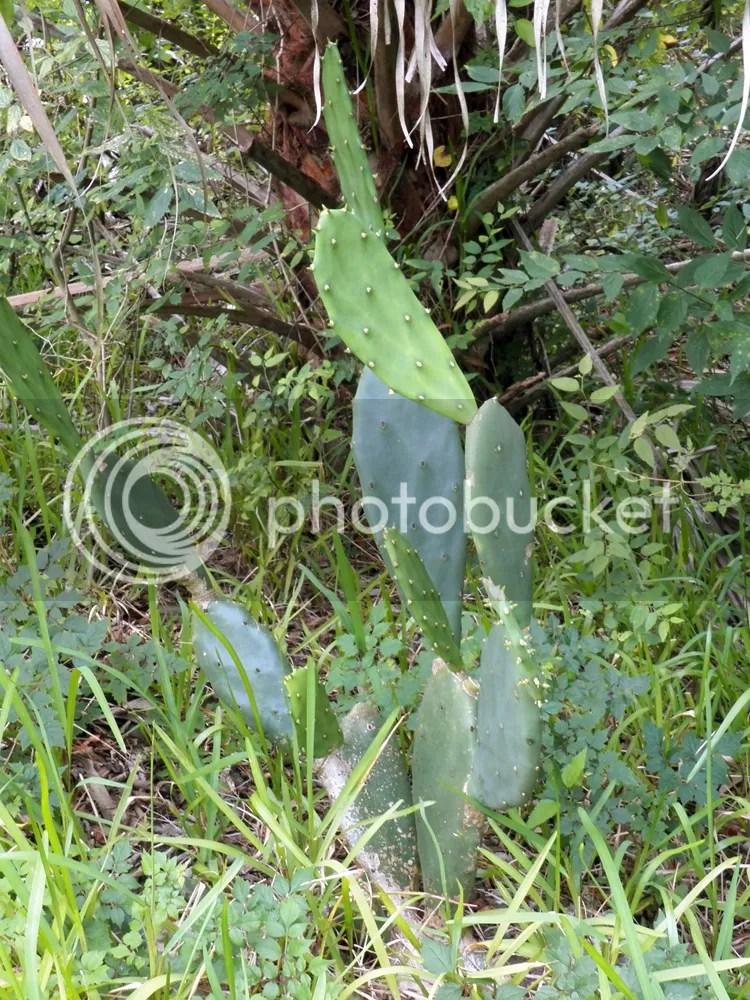 photo prickly-pear.jpg