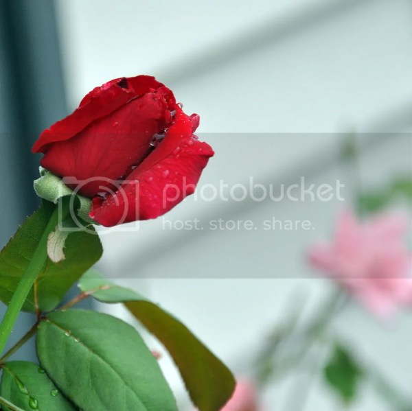 Pretty Red Rose