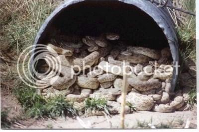 snakes photo: bucket 'o snakes Snakes.jpg