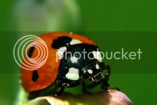 ladybird-ireland-image-picture-phot.jpg image by gardenplansireland