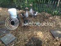 My backyard suburban farm - Page 3 - AR15.COM