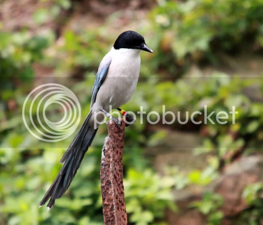 Asian Azure-Winged Magpie 灰喜鵲 (with leg-rings) - Crows 鴉 - Landbirds 陸鳥 - HKBWS Forum 香港觀鳥會討論區 - Powered by Discuz!