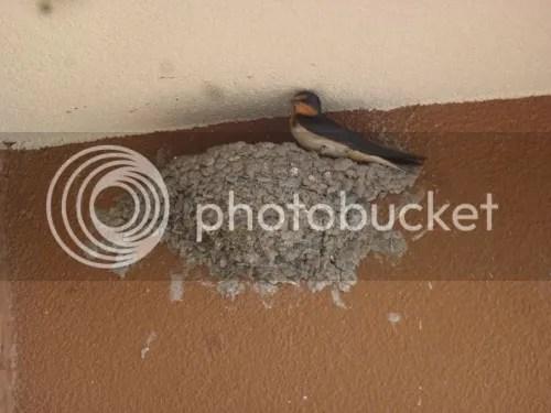 Mud Bird Nest