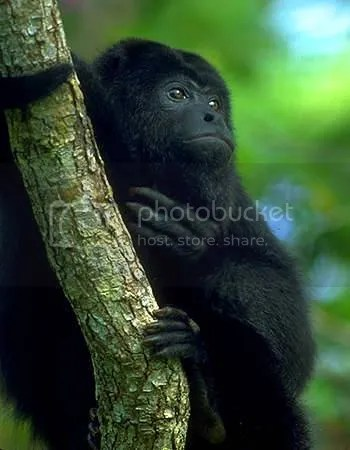 photo Howler-Monkey_zps1fee0232.jpg
