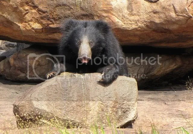 bear on rock 100910 photo IMG_1957-1.jpg