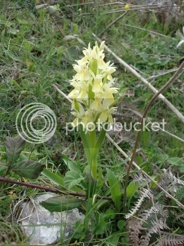 Orchidee selvatiche  Forum di Giardinaggioit