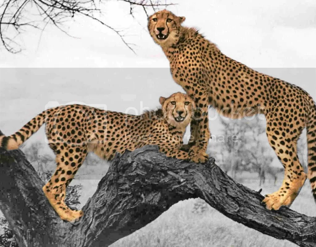 color splash cheetahs Pictures, Images and Photos