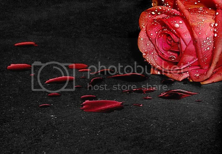 a rose Pictures, Images and Photos