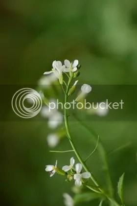 Radish Flower