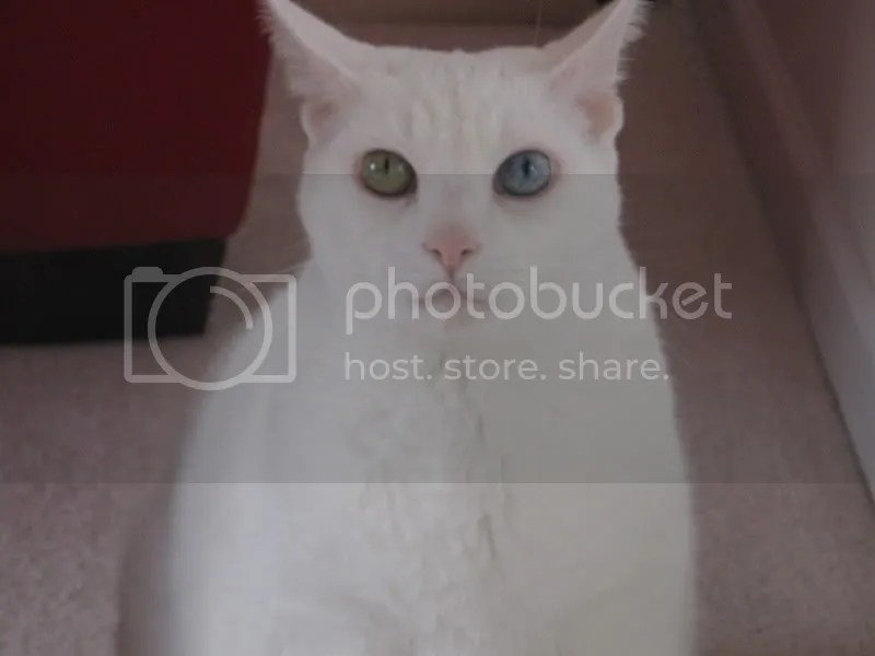 Cat with jest 1 bloo eye
