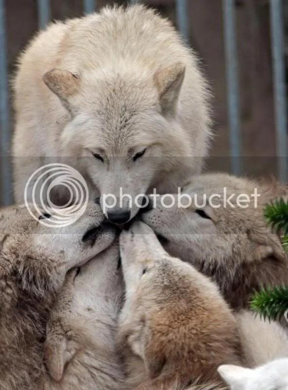 tous-unis-photographie-loups