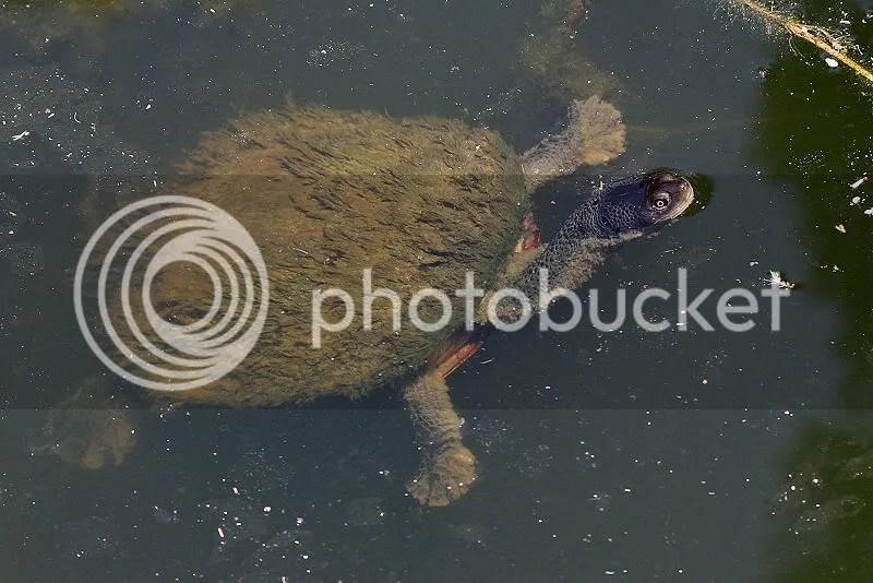 kura-kura  leher panjang
