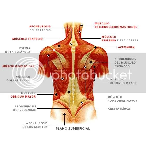 Encantador Mapa De Músculos De La Espalda Molde - Anatomía de Las ...