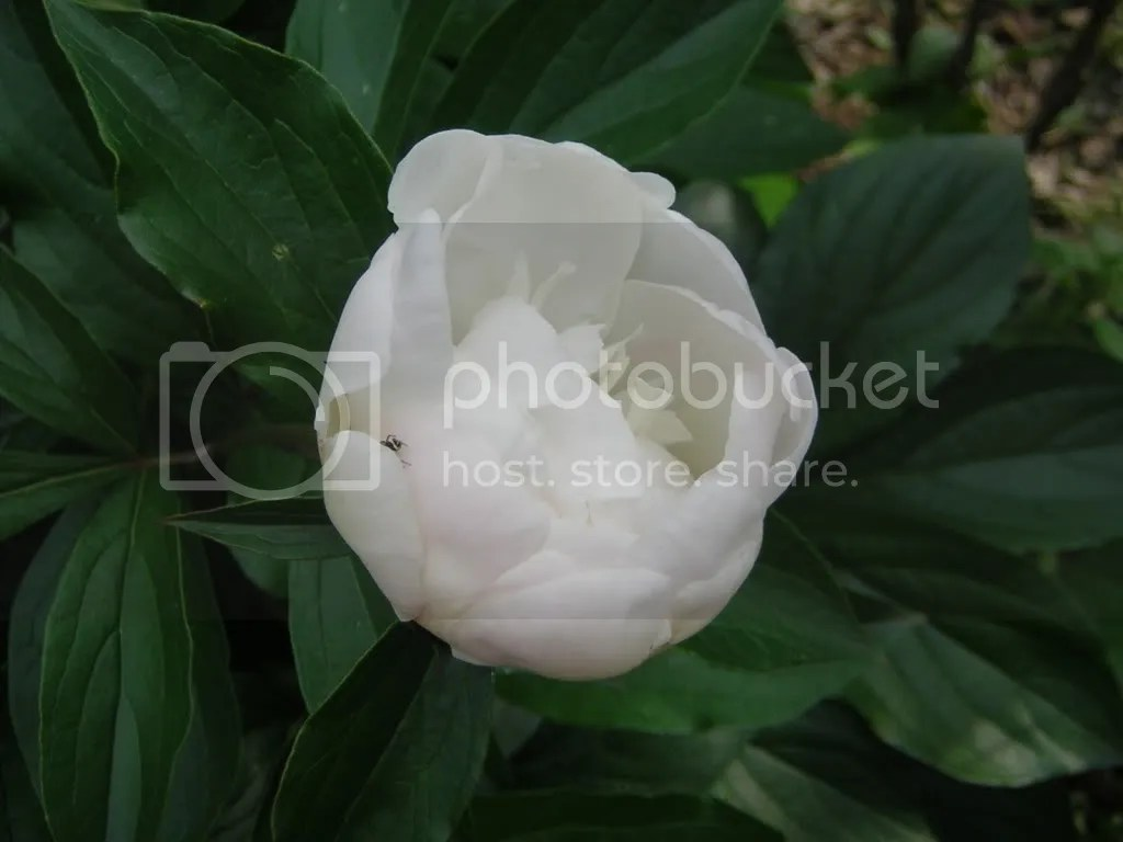 bujor alb