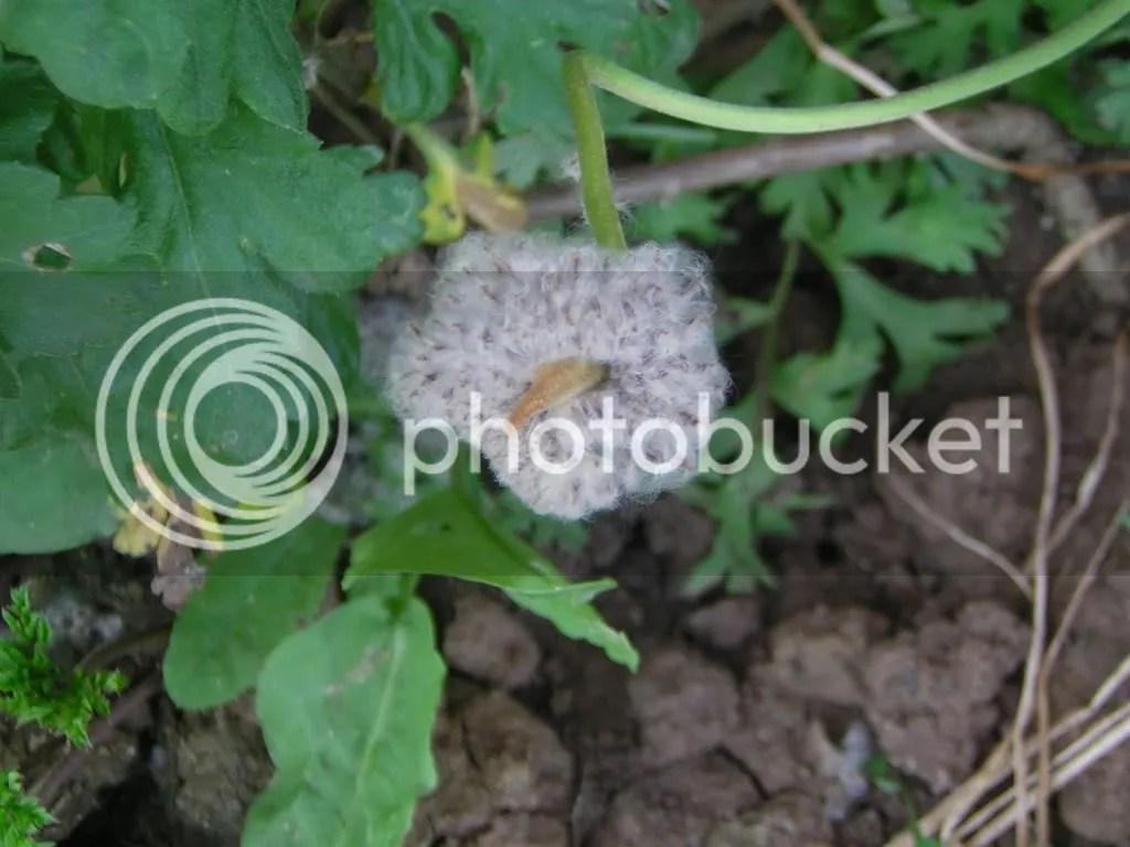 seminte anemone