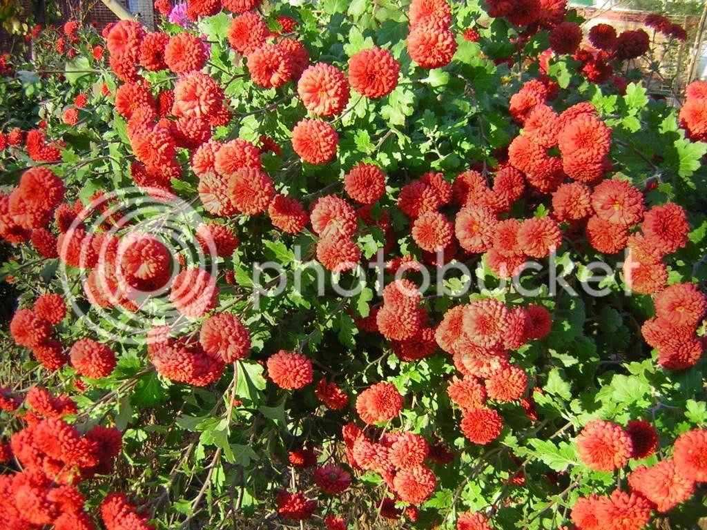 tufanica rosie