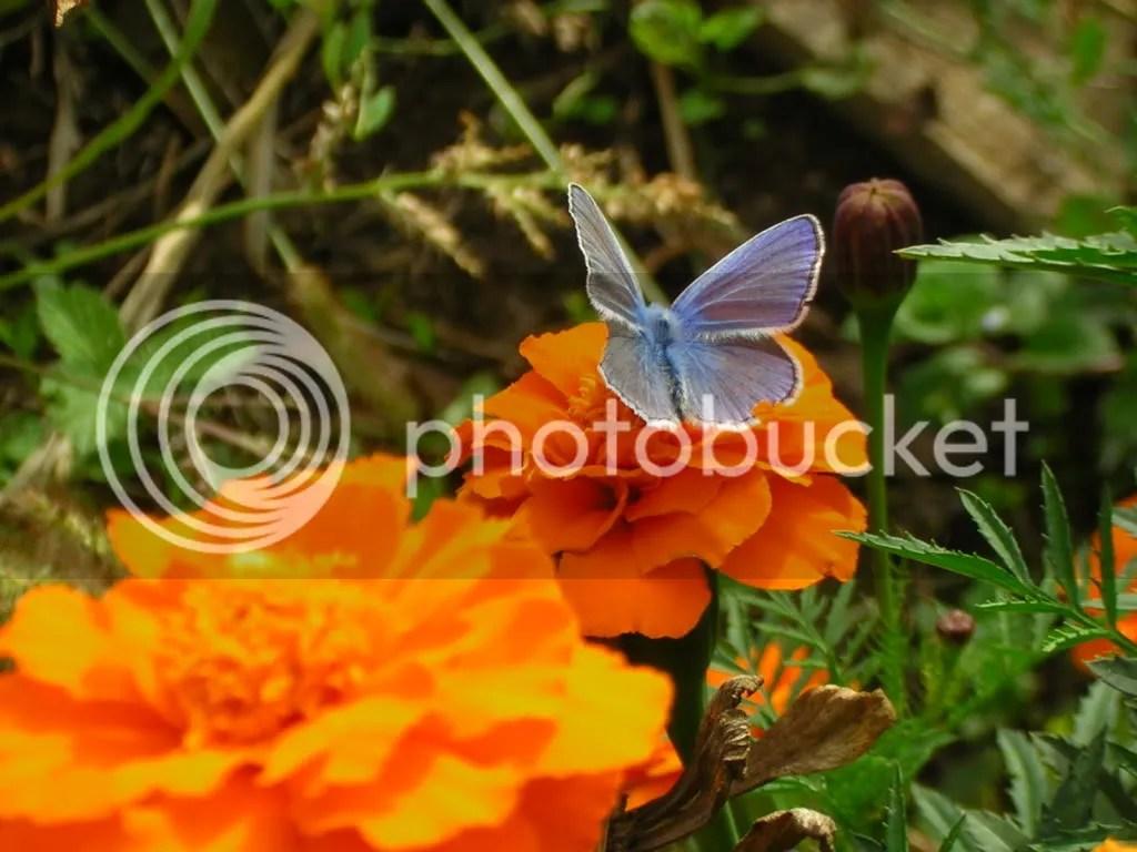 fluturas albastru