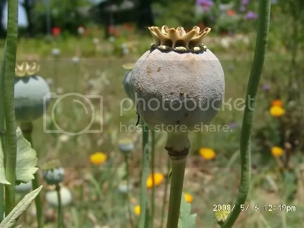 Poppy pod ready for harvest