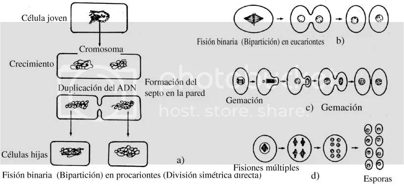 Reproduccion asexual directa amitosis definition